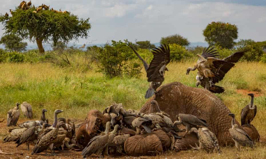 Vultures squabble over an elephant carcass