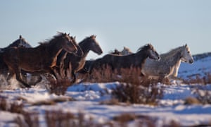 A herd of wild brumbies in Kosciuszko national park in NSW. In 2018, the Berejiklian government turned down a plan to reduce the park's feral horse population.