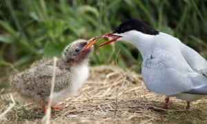 An Arctic tern feeds its chick.