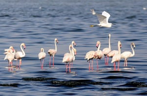 Flamingoes feed at a beach north of Kuwait City.