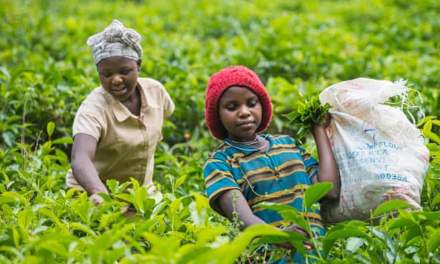 Tea pickers in Ishaka in December 2015.
