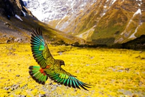 Kea are the only true alpine parrots in the world and thrive as cunning opportunists in the freezing conditions of the Southern Alps. Kea are thought to have developed their wide array of food-finding strategies during the last great ice age, where they learned to adapt using their unusual powers of curiosity.
