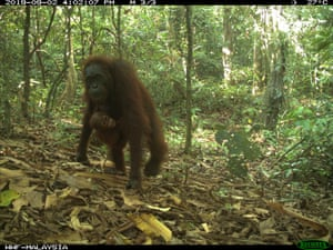 Orangutans have declined by about 50% in the last 60 years. They used to roam as far north as southern China, and as far south as the Indonesian island of Java