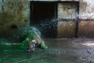 A Bengal tiger is sprinkled with water from a hose to cool him off at the Nehru zoological park in Hyderabad