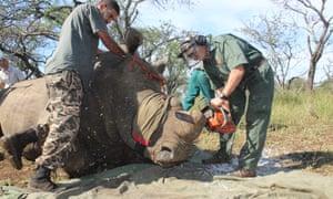 The vet Dr Mike Toft removes a rhino's horns at Somkhanda game reserve.