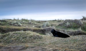 A seal at Blakeney Point, Norfolk, UK. About one in 400 grey seals are melanistic (with increased black pigment)