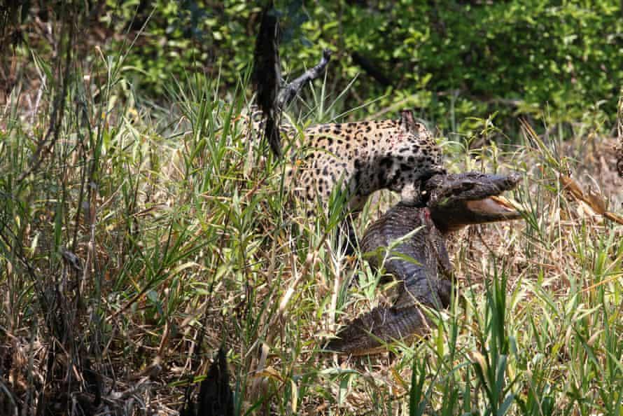 A jaguar wrestles with a caiman, in Pantanal Wetlands, Brazil
