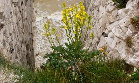 Wild cabbage – an ancestor of kale – growing on chalk cliffs.