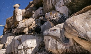 Cape vultures at their artificial nesting cliff at the VulPro facility in Magaliesburgcorrect, South Africa.
