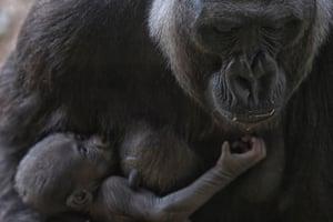 Western lowland gorilla Imbi and her baby gorilla at the zoo in Belo Horizonte, Brazil.