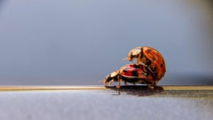 Two ladybirds pictured on a car roof in Hamburg, northern Germany