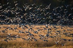 Large flock of geese, Laajalahti, Espoo, Finland