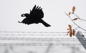 A crow carrying a nut flies over a barbed wire in Hanover, northern Germany.