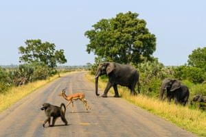 By Will Clarke. This was taken on a safari in the Kruger national park, South Africa. The scene was like something straight out of a storybook: A wild baboon, impala and elephant crossing the road together, all lined up neatly in a row.