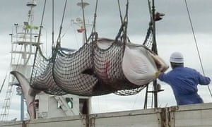 In this September, 2013 photo, a minke whale is unloaded at a port after a whaling for scientific purposes in Kushiro, in the northernmost main island of Hokkaido.