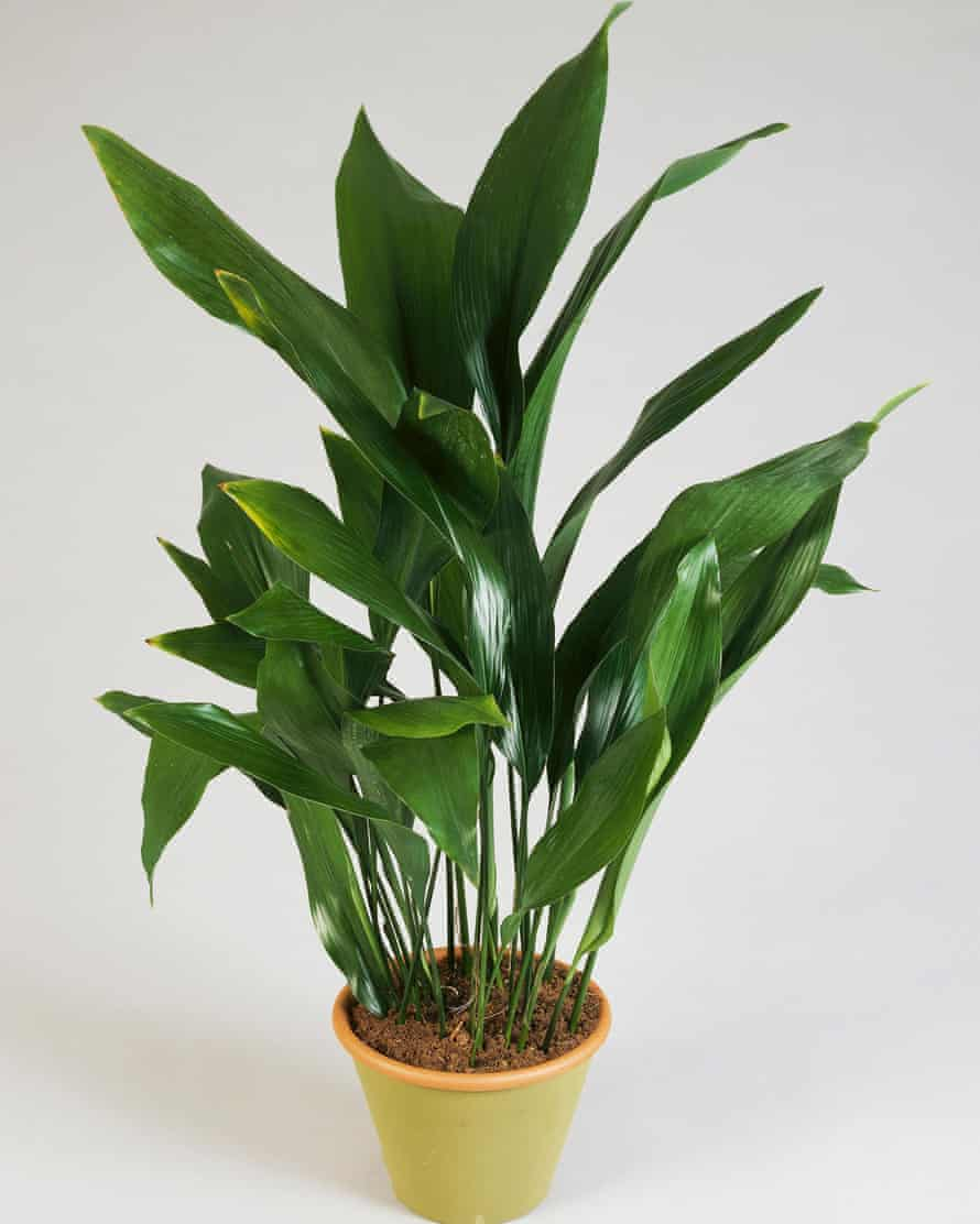Cast iron by name: the reliable aspidistra.