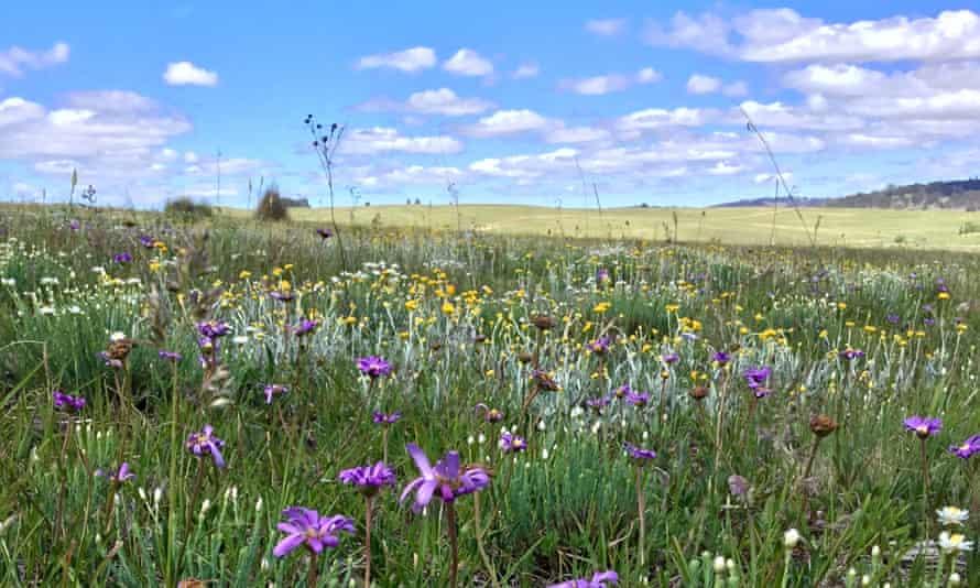 A diverse native grassland at Bibbenluke Common, Monaro region, NSW.