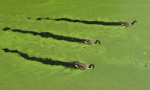 Canada geese swim in water clogged with algae.