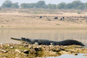A sun-drenched crocodile on the banks of the Chabal River.