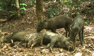 Baby wild pigs feed in front of the camera trap in the Hadabuan Hills.