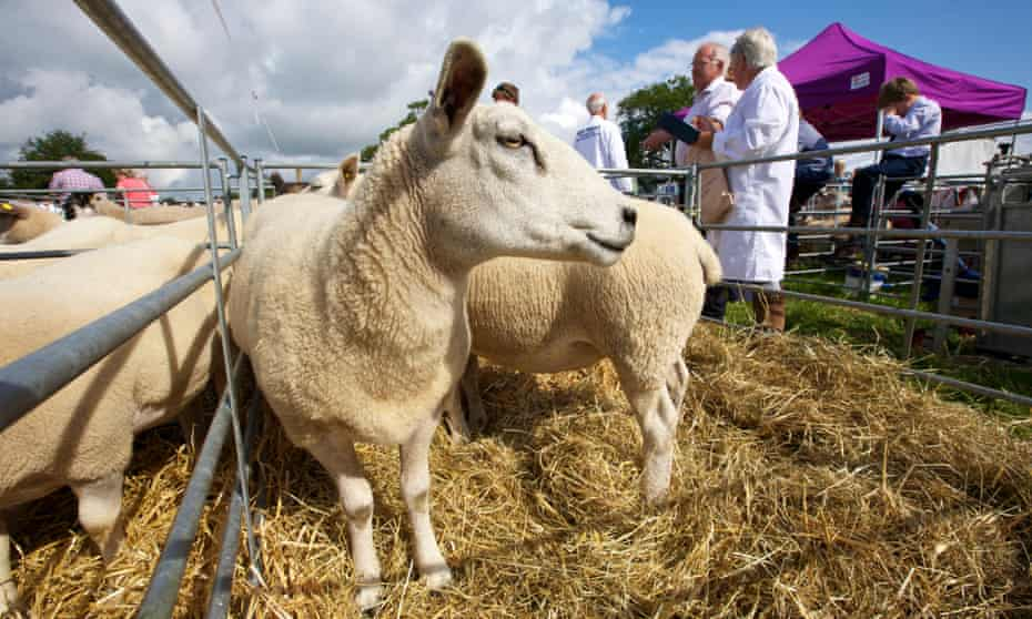 Prize sheep at Burwarton Show.