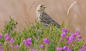 A meadow pipit amongst the bell heather and ling.