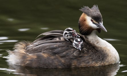 A great crested grebe carries its chicks.