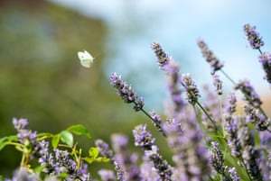 A small white butterfly landing on lavender plant. The worst year on record so far for butterflies in the UK is 2012.