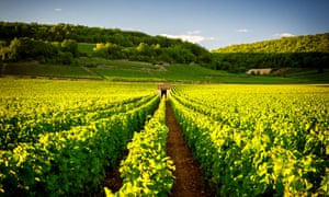 vineyards in Savigny les Beaune, near Beaune.