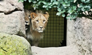 Motshegetsi (left) and Majo pictured in their enclosure at Leipzig zoo on 20 September.