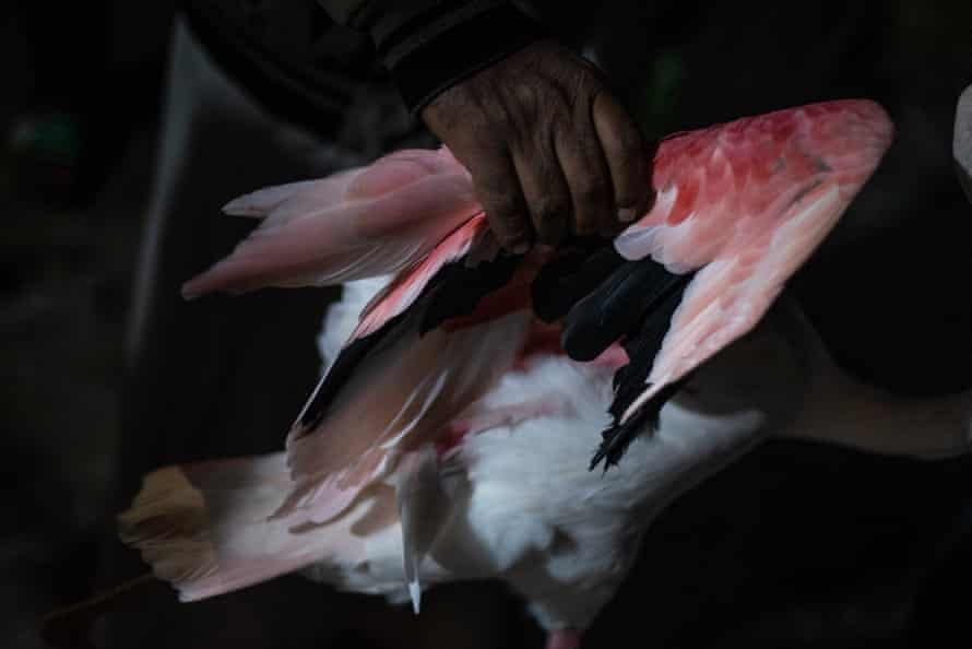 A flamingo owner holds his bird