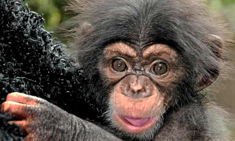 Chimpanzees: Autonomous, but irresponsible.