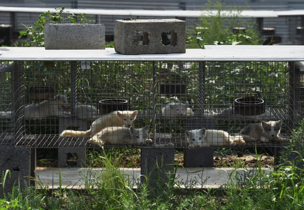 Fox cubs in cages at a farm which breeds animals for fur in Zhangjiakou, Hebei province