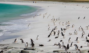 Gentoo penguins on a beach in the Falklands.