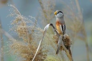 Reed Parrotbill in Qingdao, east China's Shandong Province
