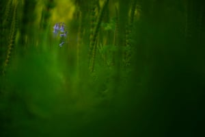 Botanical category winner: Amongst Emerald Depths (bluebell; mare's tail) by Jack Mortimer from Great Milton, Oxford