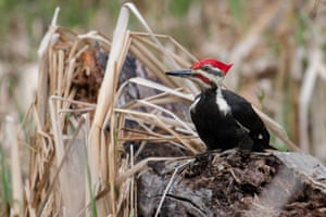 A pileated woodpecker, Michigan, US