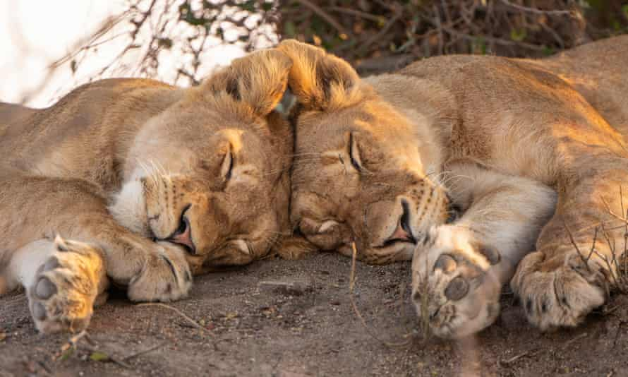 Sleeping lions ... lions are up early but tail off after midday.