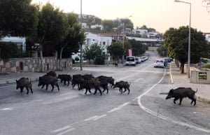 Wild boars enter the streets of Bodrum in Turkey in search of food. This week, wild boar have been sighted near Barcelona city centre.