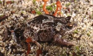 Pseudophryne guentheri, Near Badgingarra