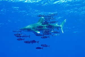 Oceanic whitetip shark (Carcharhinus longimanus) – currently found in the mid-Atlantic, northern Spain, and the Indian and Pacific Oceans.