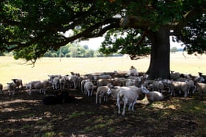 Sheep shelter under the trees in Otley, Yorkshire, 3 July.
