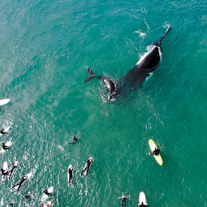 The whale calf and mother come within 10 metres of surfers off Manley beach in Sydney.