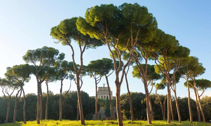 Stone pines in Rome, Italy.