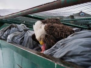 A eagle eating meat in a bin.