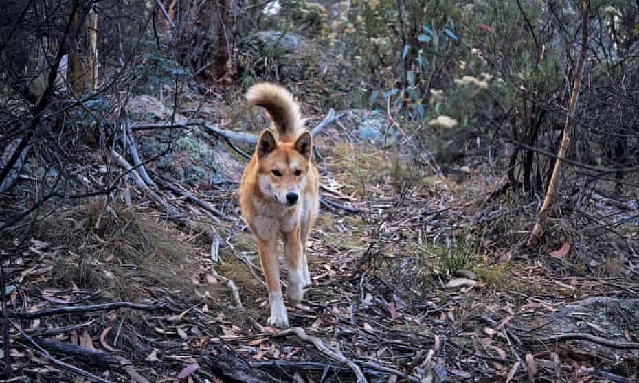 A dingo in Namadgi national park