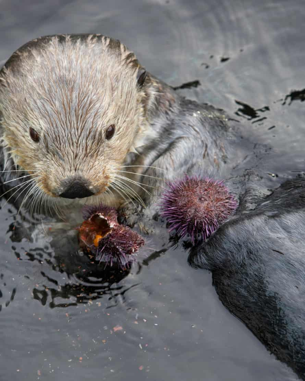 A sea otter eating a sea urchin