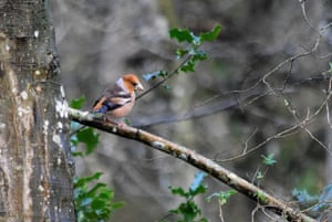 The Hawfinch (C coccothraustes) with its large beak and distinctive plumage.