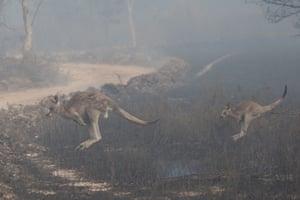 A kangaroo and joey race from North Black Range, Palerang fire.