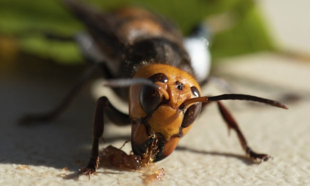 An Asian giant hornet wearing a tracking device is seen in a photo provided by the Washington state department of agriculture.